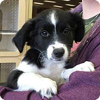 Adopt A Pet :: Mimi's Puppies - Humble, TX