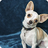 Adopt A Pet :: Eddie - Studio City, CA