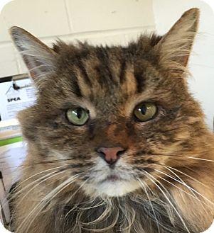 Domestic Longhair Cat for adoption in New Windsor, New York - Miller