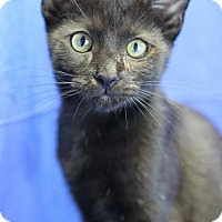 Domestic Shorthair Kitten for adoption in Winston-Salem, North Carolina - Marlon