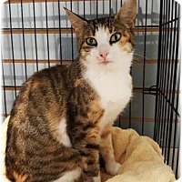 Domestic Shorthair Cat for adoption in Welland, Ontario - Lyndsey