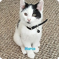 Domestic Shorthair Kitten for adoption in Cliffside Park, New Jersey - MARCO