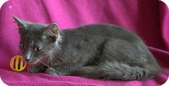 Russian Blue Kitten for adoption in Allentown, Pennsylvania - Steel