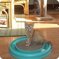 Adopt A Pet :: Tyson - St. Louis, MO