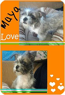 Brussels Griffon/Boston Terrier Mix Dog for adoption in LAKEWOOD, California - Maya