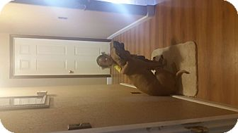 Boxer/German Shepherd Dog Mix Dog for adoption in Stockton, California - Rocky