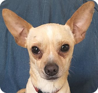 Chihuahua Dog for adoption in San Francisco, California - Ringo