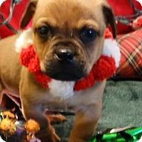 Adopt A Pet :: Puggle - Vacaville, CA
