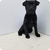 Adopt A Pet :: Kayla - Patterson, NY