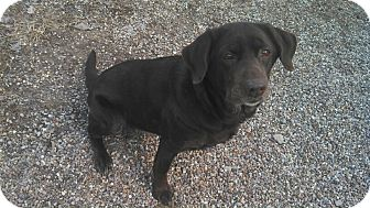 Labrador Retriever Mix Dog for adoption in Geneseo, Illinois - Scooby