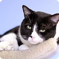 Adopt A Pet :: Valentino Garavani - Chicago, IL