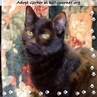 Domestic Shorthair Cat for adoption in Liverpool, New York - Gerber