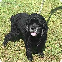 Adopt A Pet :: Georgia Belle - Westport, CT