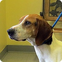 Treeing Walker Coonhound Dog for adoption in Covington, Virginia - Kimmie