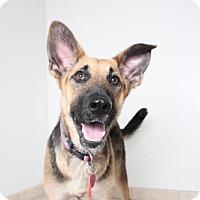 German Shepherd Dog Dog for adoption in Edina, Minnesota - Storm D161296