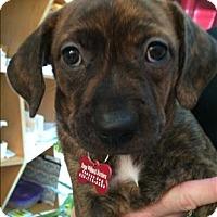 Adopt A Pet :: Cassidy - Ella pup - Encino, CA
