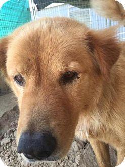Chow Chow/Labrador Retriever Mix Dog for adoption in Quinlan, Texas - Apache