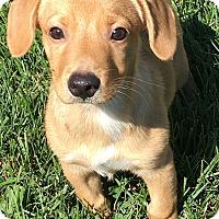 Adopt A Pet :: Tango - Pennigton, NJ