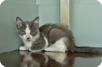 Domestic Mediumhair Kitten for adoption in San Antonio, Texas - Niall