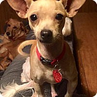 Chihuahua Mix Dog for adoption in McKinney, Texas - Sprinkles