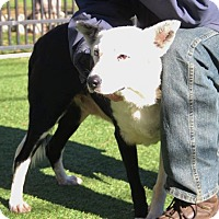 Adopt A Pet :: Pinto - Grass Valley, CA