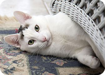 Domestic Shorthair Cat for adoption in Bristol, Connecticut - Bandit-ADOPTED!