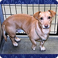 Chihuahua/Dachshund Mix Dog for adoption in San Jacinto, California - B.J.