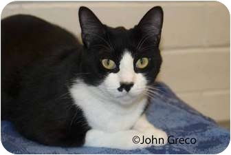 Domestic Shorthair Cat for adoption in New Port Richey, Florida - Sparky