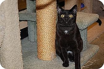 Domestic Shorthair Cat for adoption in Alpharetta, Georgia - Deena