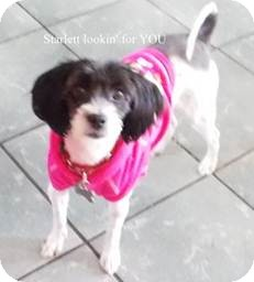 Lhasa Apso Mix Dog for adoption in San Diego, California - Starlett