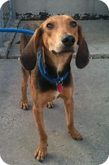 Black and Tan Coonhound Mix Dog for adoption in Schererville, Indiana - Bobby