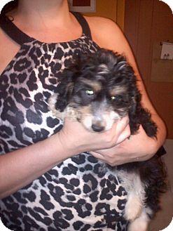Poodle (Miniature)/Dachshund Mix Puppy for adoption in Hazard, Kentucky - Puffins