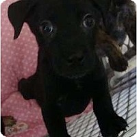 Adopt A Pet :: Gobstopper - willie wonka pup - Phoenix, AZ