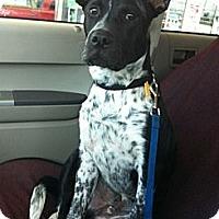 Adopt A Pet :: Buddy the Cattle Dog Mix - Sacramento, CA
