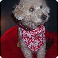 Adopt A Pet :: Brandi - La Costa, CA