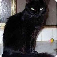 Adopt A Pet :: Raven - Arlington, VA