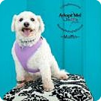 Adopt A Pet :: Muffin - Shawnee Mission, KS