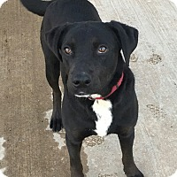 Adopt A Pet :: Herman in CT - Manchester, CT