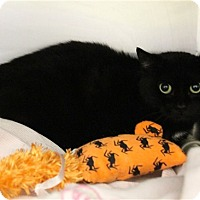 Adopt A Pet :: Midnight - Elyria, OH