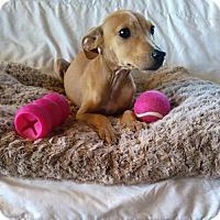 Adopt A Pet :: Ginger (MD-Kelly) - Newark, DE