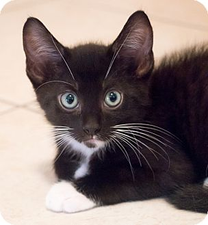 Domestic Shorthair Kitten for adoption in Chicago, Illinois - Jolene