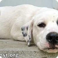 Adopt A Pet :: Borin in NJ - pup! - Beacon, NY