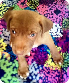 Labrador Retriever Mix Puppy for adoption in Portsmouth, New Hampshire - Chance-ADOPTION PENDING