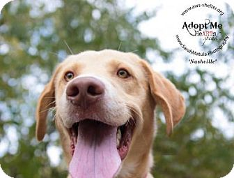 Labrador Retriever Mix Dog for adoption in New Milford, Connecticut - Nashville