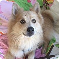 Adopt A Pet :: Elvis - St Helena, CA
