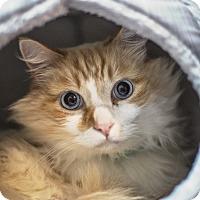 Adopt A Pet :: Sinatra - St Helena, CA