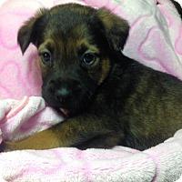 Adopt A Pet :: 11 PUPS - CHLOE - Colton, CA