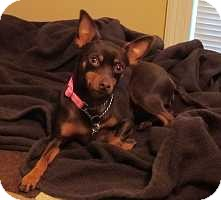 Miniature Pinscher Dog for adoption in Nashville, Tennessee - Jemma