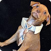 Adopt A Pet :: Rummy-Adoption pending - Bridgeton, MO