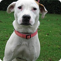 American Bulldog Mix Dog for adoption in Blairsville, Georgia - Libby